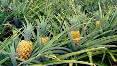Photo of Chapada: Prefeitura de Itaberaba e Embrapa apresentam variedade de abacaxi resistente ao clima semiárido