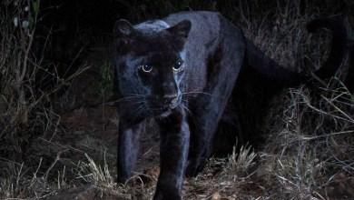 Photo of #Mundo: Pela primeira vez em um século, pantera negra africana é fotografada; confira imagens