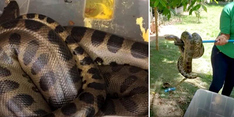 """#Bahia: Sucuri é encontrada no quintal de casa e moradora relata sumiço de galinhas: """"Mais de 20 em 4 meses"""""""