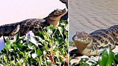 Photo of Chapada: Jacaré vive em lagoa no município de Ibitiara em meio à poluição