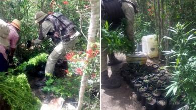 Photo of Chapada: Polícia recebe denúncia anônima e descobre plantação de maconha em Seabra