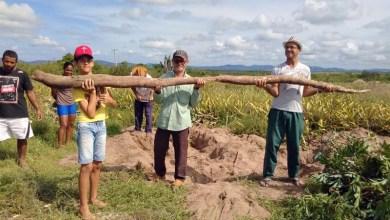 Photo of Chapada: Agricultores de Itaberaba se surpreendem com colheita de aipim gigante; veja vídeo