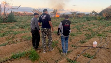 Photo of Chapada: Polícia localiza e destrói plantação com 120 mil pés de maconha no município de Jacobina