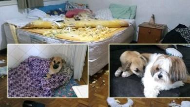 Photo of #Vídeo: 'Adotei cachorro e cresceu dinossauro', afirma dona de Chico, o vira-lata que destruiu quarto