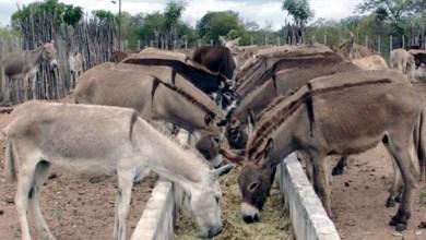 Photo of #Bahia: Governo estadual regulamenta procedimentos para abate de jumentos; Adab detalha processo