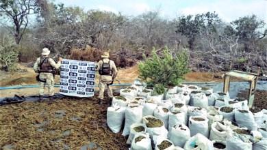 Photo of Chapada: Operação contra o tráfico de drogas localiza plantação de 40 mil pés de maconha em Mirangaba
