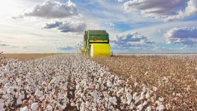 Photo of #Brasil: Safra de 1,5 milhão de tonelada de algodão confirma Bahia em segundo lugar na produção nacional