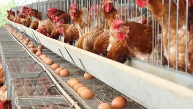 Photo of #Brasil: Com carne mais cara, consumo de ovos está batendo recorde em todo país