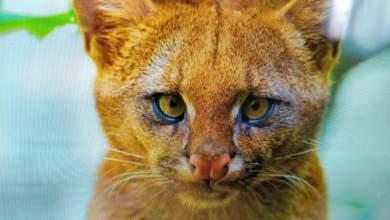 Photo of #Mundo: Jovem descobre que gatinho adotado na Argentina era um puma selvagem