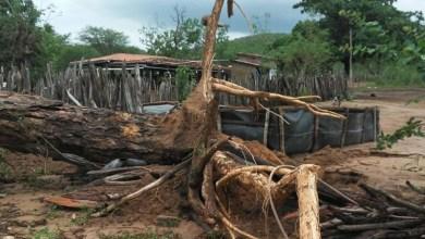 Photo of Chapada: Vento derruba árvore de aproximadamente 80 anos no município de Jacobina