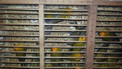 Photo of Chapada: PRF resgata mais de 400 pássaros silvestres transportados em condições precárias na região de Itaberaba