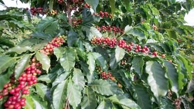 Photo of Chapada: Pequenos produtores de café da região vão reforçar a importância da distribuição da safra no calendário agrícola 2020
