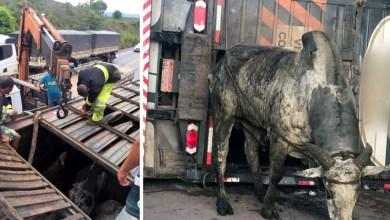 Photo of #Vídeo: Carreta tomba na BR-242 e mata oito bois; PRF e Anjos da Chapada resgatam 46 animais