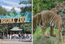 Photo of #Mundo: Tigre de zoológico em Nova York tem resultado positivo para coronavírus e responde bem a tratamento