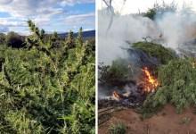 Photo of #Chapada: Três toneladas de maconha são apreendidas na zona rural de Seabra; 250 mil pés são incinerados