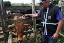 Photo of #Chapada: Adab de Seabra realiza campanha de vacinação contra febre aftosa e amplia acesso a produtores