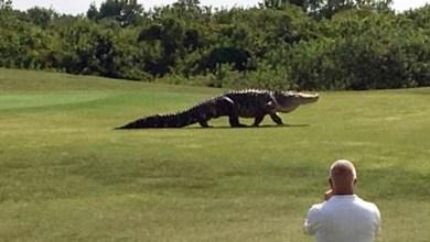 """Photo of #Vídeo: Crocodilo gigante é flagrado passeando em campo de golf nos EUA; """"morreria se visse perto de mim"""""""