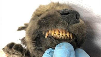 Photo of #Mundo: Animal de 18 mil anos descoberto nas geleiras da Sibéria pode ser o cachorro mais antigo do planeta