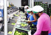 Photo of #Chapada: Culturas do cacau e do limão fortalecem produção agrícola no município de Itaberaba