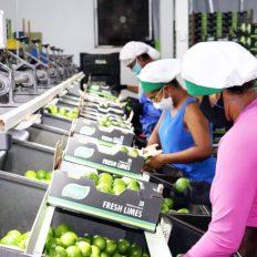 O limão tahiti é carro-chefe de fazenda em Itaberaba | FOTO: Divulgação |