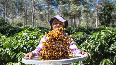 Photo of #Chapada: Cooperativa em Piatã se destaca na cafeicultura baiana por qualidade que levou a premiações internacionais