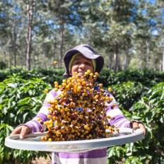 Até 2022, expectativa é de que seja aplicado R$20 milhões no sistema produtivo do café na Bahia   FOTO: Divulgação/SDR  