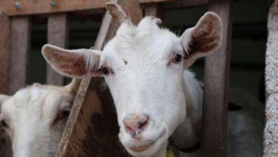 Photo of #Bahia: Leite de cabra garante renda e segurança alimentar a famílias do interior do estado