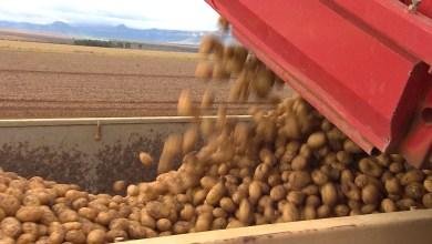 Photo of #Chapada: Mucugê e Ibicoara têm os maiores valores de produção de batata inglesa do país