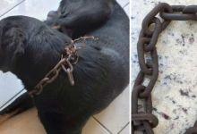 Photo of #Chapada: Cachorro é vítima de maus-tratos em Jacobina; animal estava com corrente de quase 1kg no pescoço