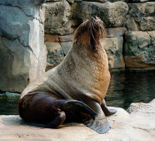 bigode-de-foca