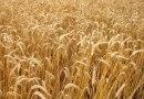 FAEP pede apoio à comercialização do trigo