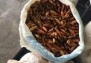 IAP apreende 4 mil quilos de pinhão verde na Ceasa