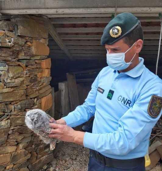 Proença-a-Nova: GNR resgatou coruja na localidade de Folga