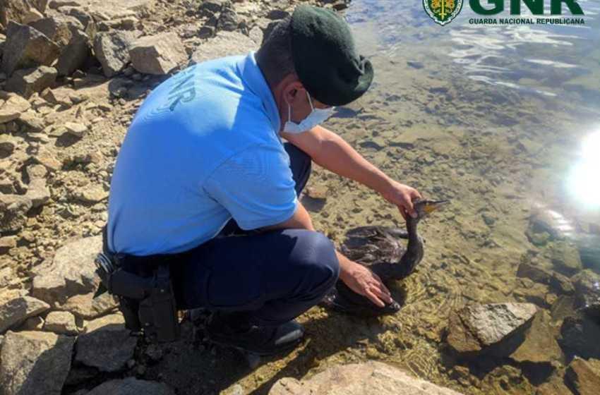 Distrito: GNR resgatou corvo-marinho