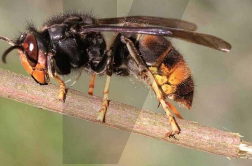 CIMBB: Comunidade investe 250 mil euros no combate à vespa asiática