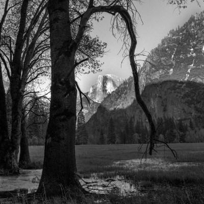 Tree, Half Dome