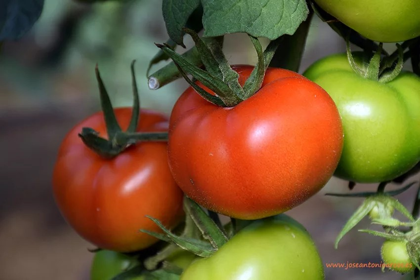 Agricultura-tomates-a-Israel