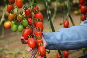 Cherry-pera-agrinature