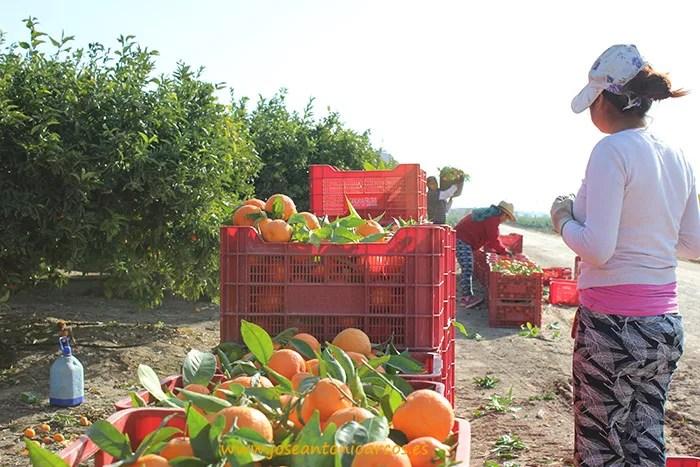 Recolectando cítricos en el campo de Cartagena