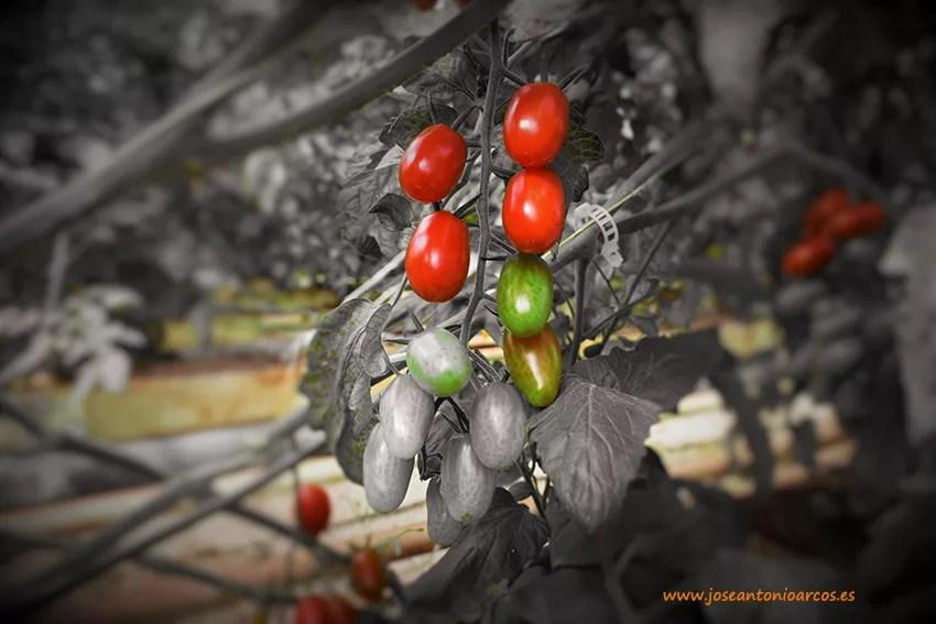 Tomate-marruecos2