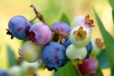 Projar consolida su posición en berries en Marruecos y México
