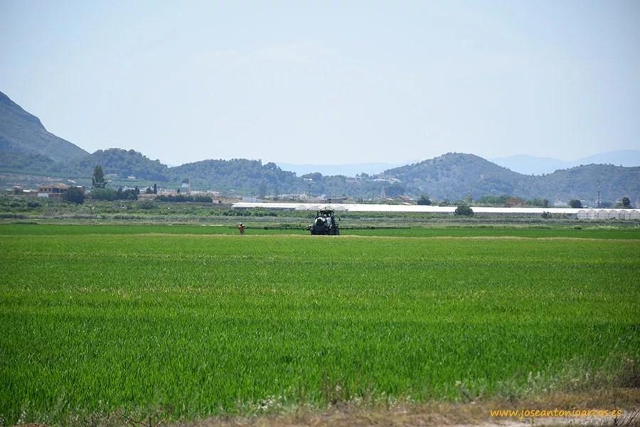 Campos de arroz en la provincia de Valencia, en el municipio de Cullera.