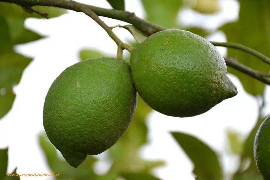 limones-ecologicos