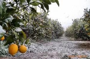 Nieve en la huerta de Murcia. Enero 2017. Cítricos nevados en Pozo Aledo, San Javier.