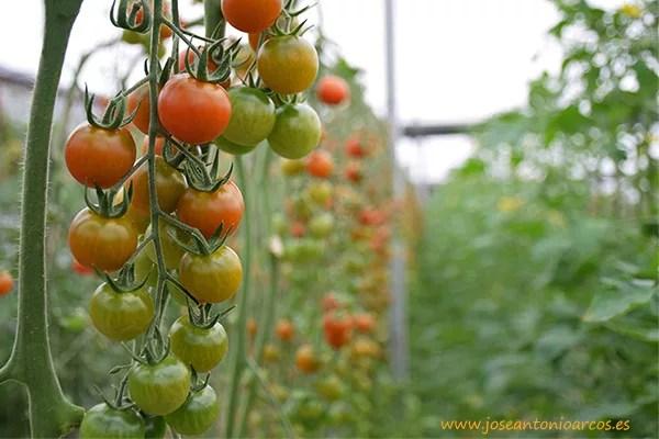 Karelya, nuevo tomate cherry de Zeraim.