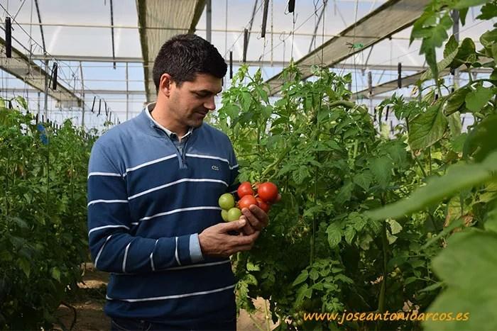 Francisco Javier en el invernadero de tomate rama.