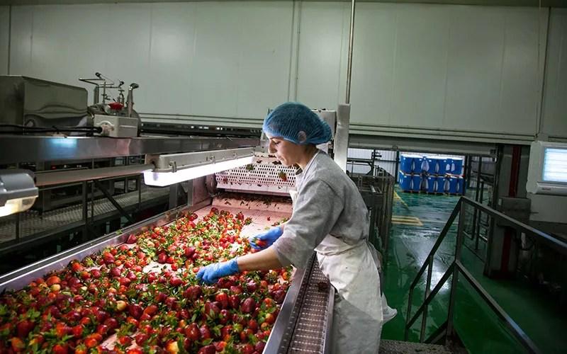 Hudisa Huelva Lepe procesado de frutos rojos.
