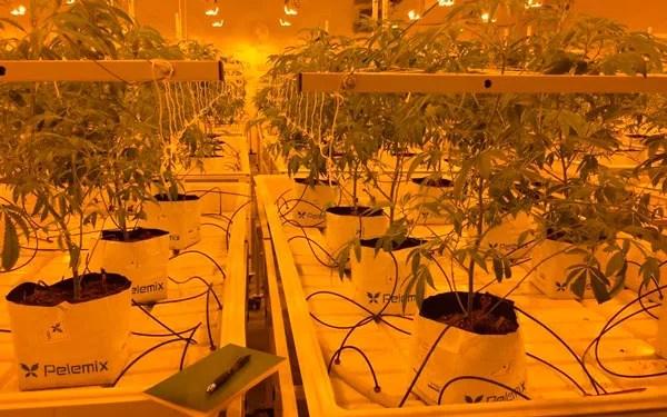 Imagen cedida por Pelemix. Cultivo de cannabis.