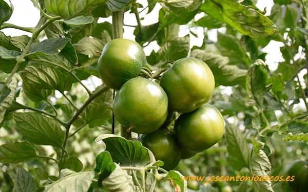 Tomate Mulato, Agrinature.