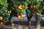 "Los citricultores alertan del riesgo de importar la ""mancha negra"""
